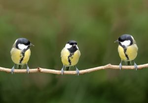 three great tits on a branch